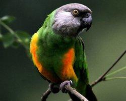 Сенегальский попугай