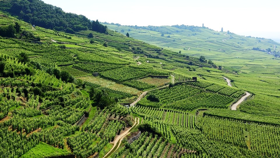 Эльзасские виноградники