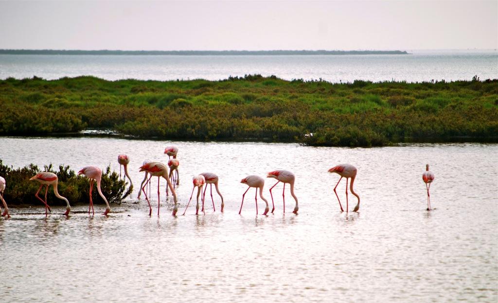 Фламинго в Камарге