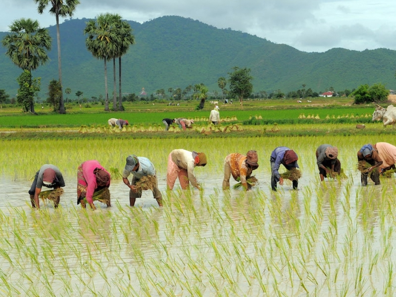 Фермеры на рисовых полях